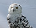 Snowy Owl (Captive-Injured) (37079739026).jpg