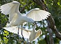 Snowy egret and her baby.jpg