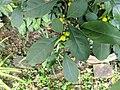 Solanum diphyllum 20181022 155000.jpg
