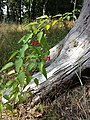 Solanum dulcamara sl1.jpg