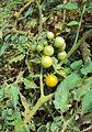 Solanum lycopersicum cerasiforme 01.jpg