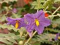 Solanum pyracanthos, Phipps Conservatory, 2015-10-01, 01.jpg