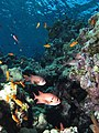 Soldier fish in shaded area of the reef (6158477807).jpg