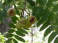 Sorbus-domestica-2.jpg