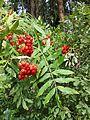 Sorbus aucuparia sl3.jpg
