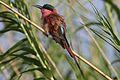 Southern carmine bee-eater, Merops nubicoides, Chobe National Park, Botswana (31649416003).jpg