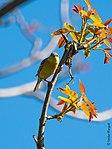 Sparrow-2 (26986811491).jpg