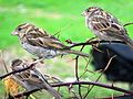 Sparrows(Cidiya)3.jpg