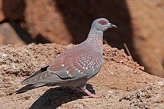 Speckled pigeon - Image: Speckled pigeon (Columba guinea bradfieldi)