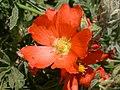 Sphaeralcea coccinea (5199875191).jpg