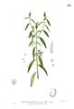 Sphenoclea zeylanica Blanco1.143.png