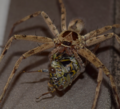 Spider and its prey.png