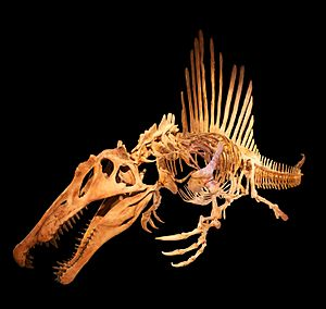Spinosauridae - Skeletal reconstruction of Spinosaurus aegyptiacus