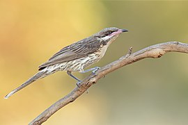 Spiny-cheeked Honeyeater 3434 - Patchewollock Conservation Reserve.jpg