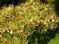 Spiraea betulifolia (5069625116).jpg
