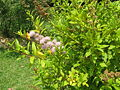 Spiraea salicifolia3.jpg