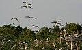 Spot-billed Pelican (Pelecanus philippensis) coming with feed W IMG 7282.jpg