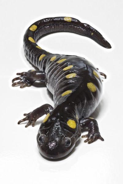 Spottted Salamander