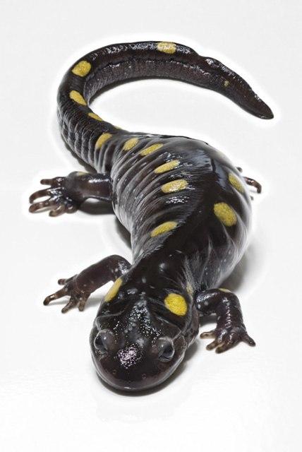 SpottedSalamander