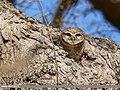 Spotted Owlet (Athene brama) (39560156742).jpg