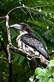 Sri Lanka grey hornbill(Ocyceros gingalensis) 03.jpg