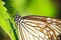 Srilanka Butterfly.jpg