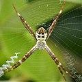 St Andrews Cross Spider. Argiope keyserlingi (48622384953).jpg