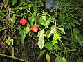 Star capsicum green & red.JPG