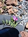 Starr-090504-7284-Vicia sativa subsp nigra-flowers and leaves-Science City-Maui (24327400063).jpg