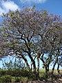 Starr-090513-7516-Jacaranda mimosifolia-flowering habit-King Kekaulike School Pukalani-Maui (24659155810).jpg