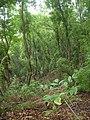 Starr-090521-9232-Fraxinus uhdei-habit-Polipoli-Maui (24930357716).jpg
