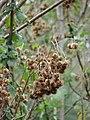 Starr-090601-8693-Montanoa hibiscifolia-seeds-Ulupalakua-Maui (24334076963).jpg