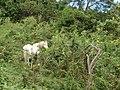 Starr-090601-8718-Tithonia diversifolia-habit with grazing horse-Upper road Kanaio-Maui (24868490521).jpg