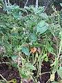 Starr-090611-0631-Glycine max-plants in garden-Olinda-Maui (24337296433).jpg