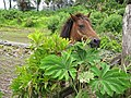 Starr-090618-1187-Tetrapanax papyrifer-habit with miniature pony-Keanae-Maui (24670376130).jpg