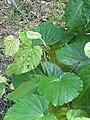Starr-091104-8939-Piper postelsianum-leaves-Kahanu Gardens NTBG Kaeleku Hana-Maui (24361499443).jpg
