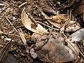 Starr-100615-7034-Rubus niveus-habitat with Tapinoma sessile nest-Waipoli Rd Kula-Maui (24409670854).jpg