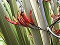 Starr-100616-7090-Phormium tenax-flowers-Waipoli Rd Kula-Maui (24922466332).jpg