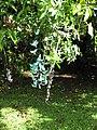 Starr-110330-3815-Strongylodon macrobotrys-flowering habit-Garden of Eden Keanae-Maui (24453911083).jpg