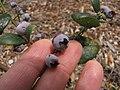 Starr-110621-6266-Vaccinium hybrid-Southern highbush cv Emerald fruit-Hawea Pl Olinda-Maui (24729615089).jpg