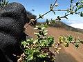Starr-110727-8001-Arenaria serpyllifolia-flower and leaves-Polipoli-Maui (25102034185).jpg