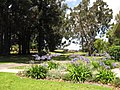 Starr-120510-5690-Eucalyptus camaldulensis-habit in yard-Ka Hale Olinda-Maui (25049150641).jpg