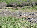 Starr-120513-9487-Argemone glauca-flowering habit-Waihee Coastal Preserve-Maui (24775071169).jpg