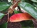 Starr-121108-0829-Chrysophyllum cainito-flowers and leaves-Pali o Waipio-Maui (24900781510).jpg