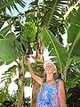 Starr-121108-0875-Musa x paradisiaca-Maoli Maia Honomanu habit and fruit with Angela-Pali o Waipio-Maui (25170282946).jpg