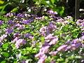 Starr-130114-1420-Lantana montevidensis-purple flowers-Paia-Maui (25204557055).jpg