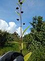 Starr-140909-1668-Sida rhombifolia-seedheads-Wailua-Maui (24615038254).jpg