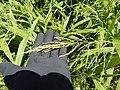 Starr-140909-1716-Setaria palmifolia-leaves and seedheads-Wailua-Maui (25245785015).jpg