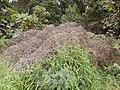 Starr-140917-1914-Delairea odorata-dieback habit-Kula-Maui (25153244411).jpg