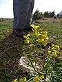 Starr-150328-0559-Brassica juncea-flowers-Eastern Island-Midway Atoll (25175596511).jpg